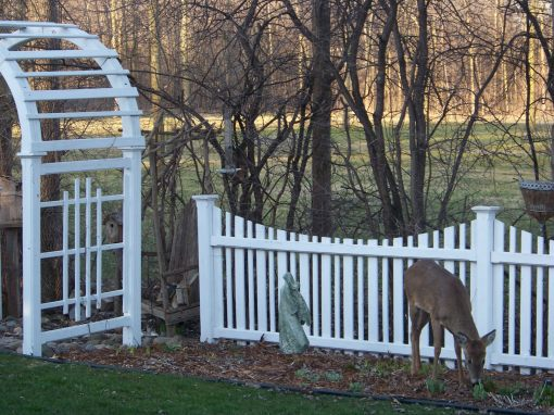 01backyarddeer_003