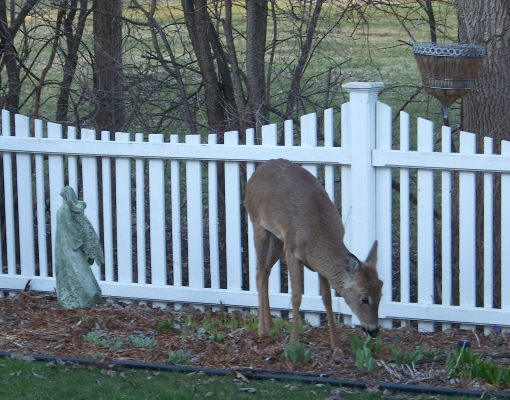02backyarddeer_002