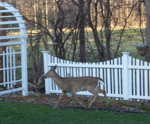 04backyarddeer_004