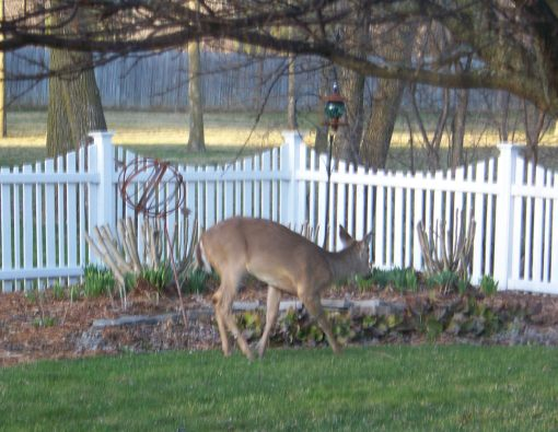 05backyarddeer_005