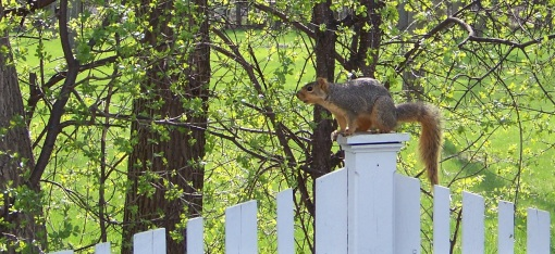 squirrel 003cr